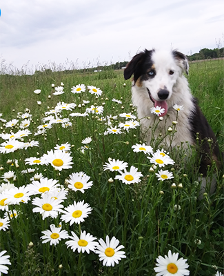 Dog in flowers at Centennial 6 Farms